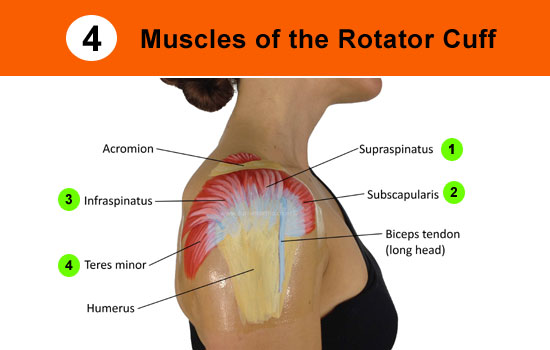 Torn Rotator Cuff Diagram | Top 7 Signs Of A Torn Rotator Cuff With Guidelines