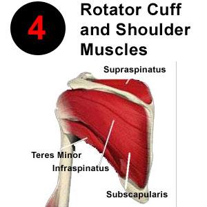 rotator cuff shoulder muscles