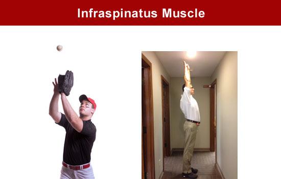 shoulder muscle